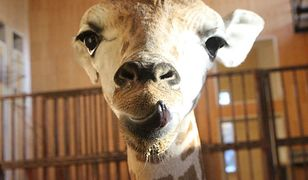 Zrób zdjęcie i wygraj spotkanie z Żyrafkiem Gortatem