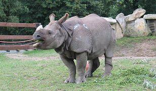 Nosorożec Kuba obchodzi urodziny raz na cztery lata. Złóż mu życzenia
