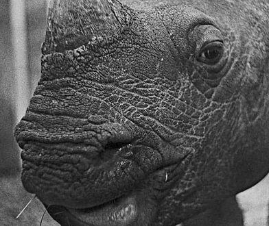 Warszawskie Zoo. Nie żyje młody nosorożec Jung