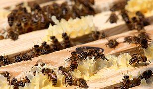 W Chmielniku doszło do zatrucia 2,5 miliona pszczół.