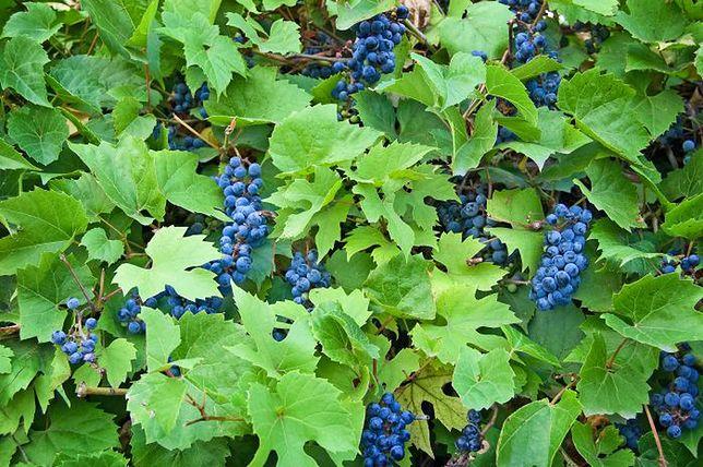 Warto spróbować: liście winogron