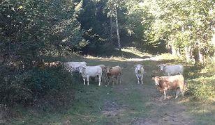 Stado krów od miesięcy niszczy gminę Lądek Zdrój