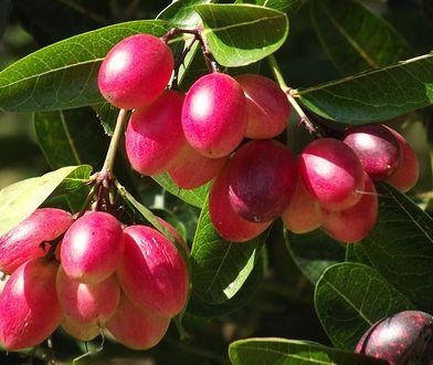 Synsepal - magiczny owoc, który zmienia smak