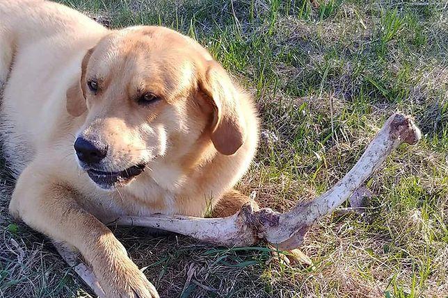 """Zadowolony pies po przyjęciu """"łapówki"""" - kości jelenia"""