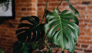 Lepiej uważaj na te rośliny. Mogą być toksyczne dla najmłodszych