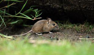 Więcej myszy oznacza więcej kleszczy