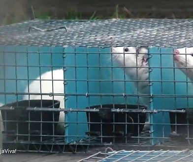Wstrząsające nagrania z fermy norek. Przemysł futrzarski reaguje na materiał WP
