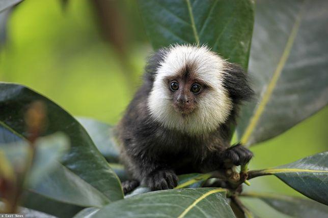 Małpy uczą się lokalnych dialektów. Tak przynajmniej twierdzą naukowcy