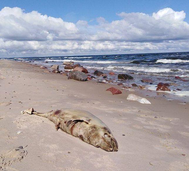 Od początku lipca Bałtyk wyrzucił na plaże 8 martwych morświnów