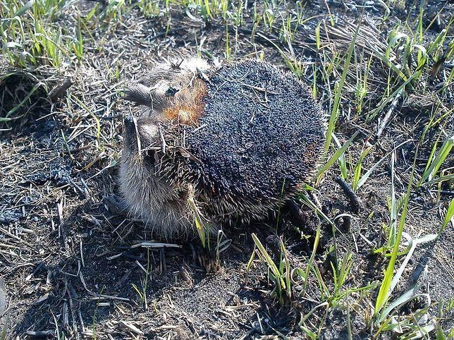 Zwierzęta cierpią podczas wypalania traw