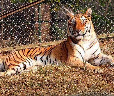Tragiczny wypadek w zoo w Zurychu. Tygrys zabił 55-latkę