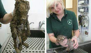 Znaleźli tajemnicze zwierze całe pokryte błotem. Nikt nie zgadł jakiej jest rasy dopóki nie zostało umyte