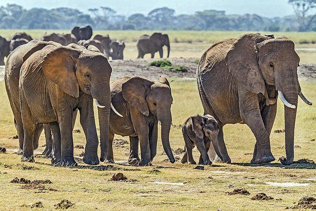 Kolejna tajemnicza śmierć słoni w tamtej części świata.
