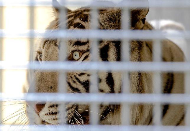 Tygrys zaatakował pracownicę zoo. Kobieta nie żyje