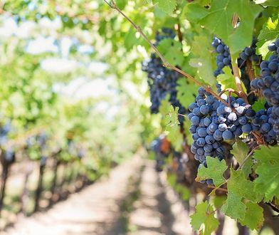 Polskie winnice rosną w siłę. Już na zarabiają na winie