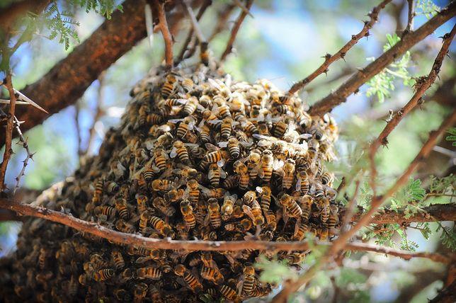 Katastrofa ekologiczna na Pomorzu. Tysiące pszczół martwych