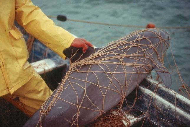 Szacuje się, że w Bałtyku żyje teraz niecałe pół tysiąca morświnów