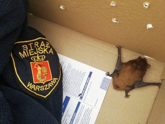 Warszawa: malutki nietoperz wleciał do piekarni przy ulicy Brackiej. Zwierzę znaleźli pracownicy lokalu