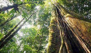 Najwyższe drzewo Amazonii.