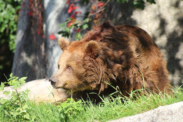 Warszawa. Zaatakowana niedźwiedzica czuje się lepiej