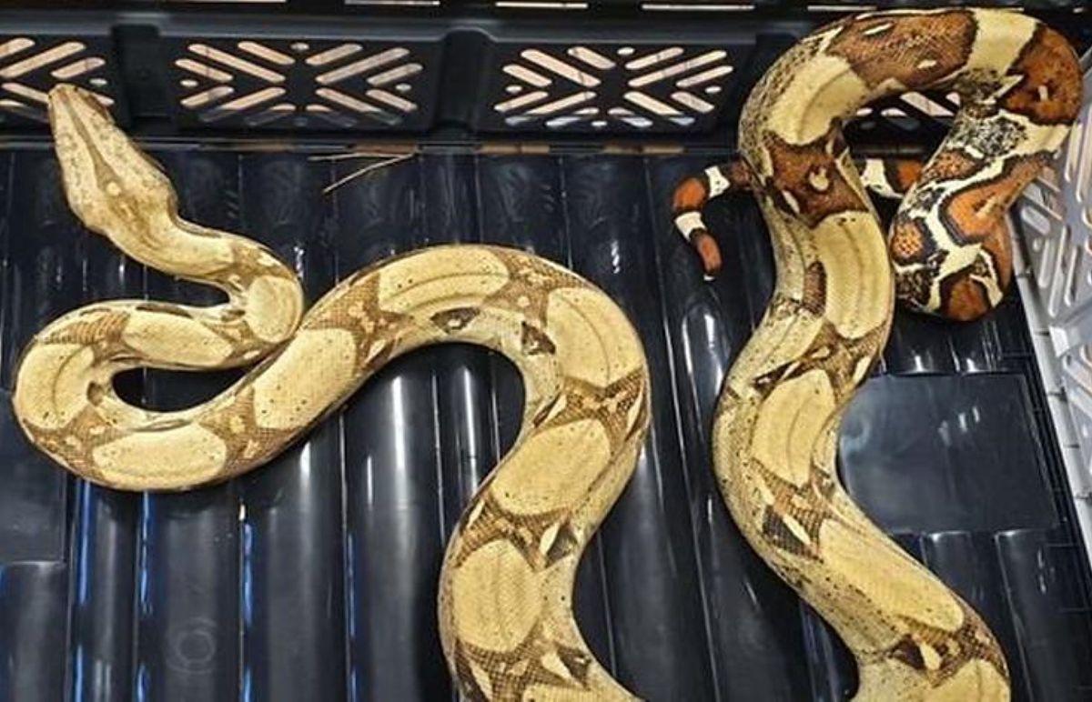 Wąż obecnie przebywa w domu tymczasowym