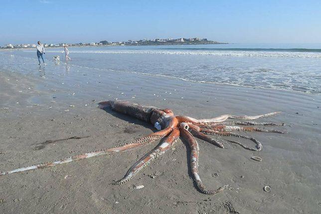 Kałamarnica olbrzymia na plaży, fot. Dr Wayne Florence
