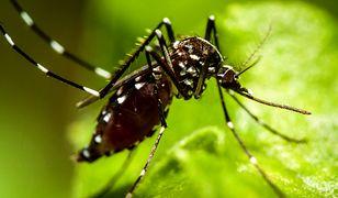 Komar tygrysi zadomowił się już w Czechach i Niemczech