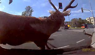 Ważące ok. 150 kg zwierzę wpadło wprost na maskę samochodu z kursantem