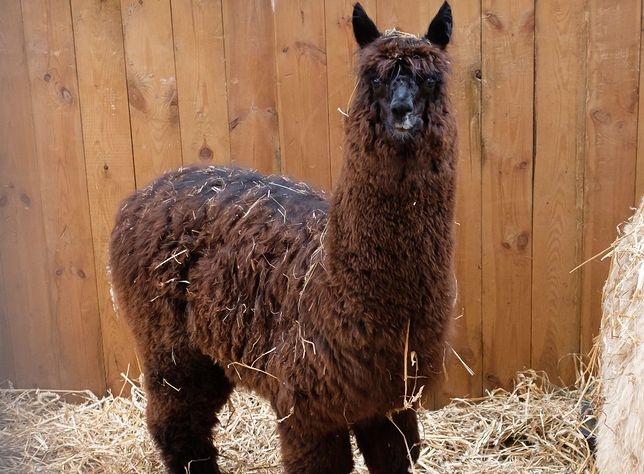 Koronawirus na świecie. Lama o imieniu Winter z Belgii pokonała infekcję COVID-19. Przeciwciała wytworzone przez zwierzę prawdopodobnie będą mogły pomóc ludziom.