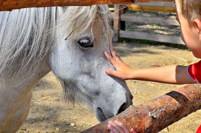 Zdaniem hodowców to, czy konia stresuje malowanie, zależy od jego charakteru.