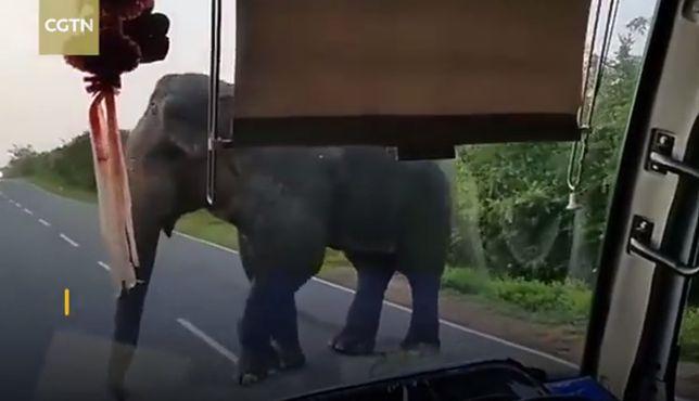 Kierowca autobusu był bezradny. Musiał oddać słoniowi banany