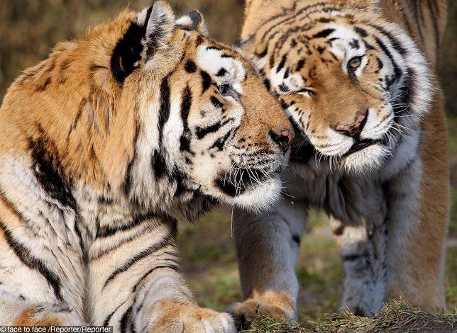 Do zoo w Zamościu przyjechał tygrys amurski prosto z Finlandii. 2-letnia samica o imieniu Isla ma stworzyć parę z samcem, Makarem.