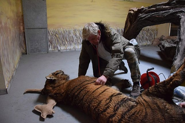Jacek Przybylski, lekarz weterynarii. To on ruszył na ratunek tygrysom