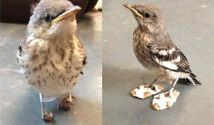 Okaleczony ptaszek otrzymuje malutkie buty, by znów chodzić