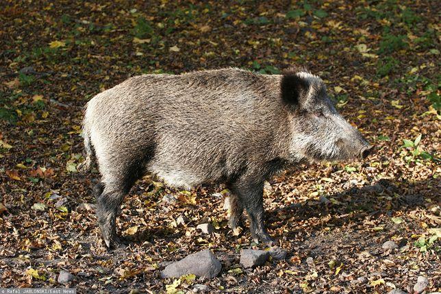 Wirus ASF został wykryty u dzika w powiecie wschowskim. Zagrożone są hodowle świń w Wielkopolsce.