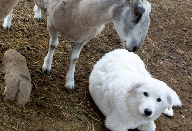 Psy pasterskie pilnują owiec na farmie swoich właścicieli