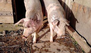 Rosnący popyt na mięso zwiększa ryzyko wystąpienia pandemii.