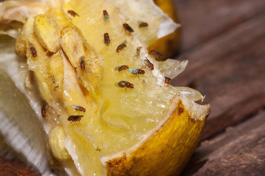 Zapach fermentujących owoców przyciąga muszki owocówki