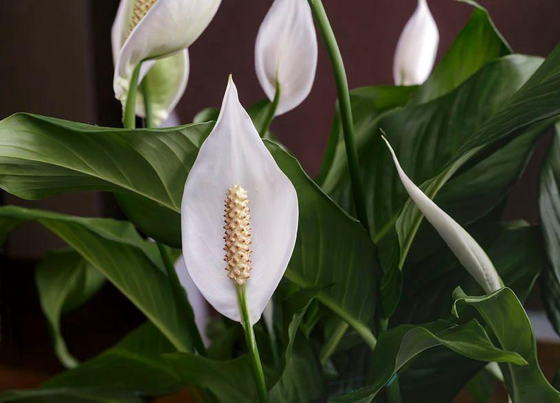 Skrzydłokwiat oczyszcza powietrze