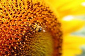 Mleczko pszczele wzmacnia odporność i jest afrodyzjakiem. Poznaj jego inne zalety