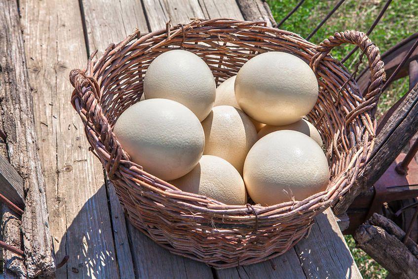 Jaja strusie