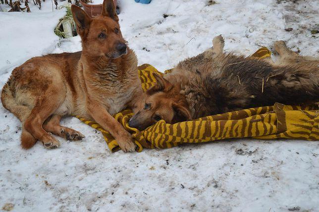 Szczenna suka w zabitej deskami budzie i sparaliżowane psy na mrozie