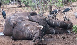 87 słoni zabitych w pobliżu rezerwatu dzikiej przyrody w Botswanie
