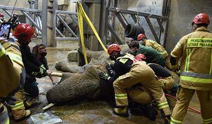 Nie żyje Linda - słonica z poznańskiego zoo