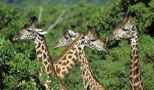 Alarm: żyrafy mogą wyginąć