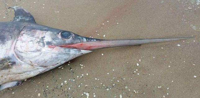 Miecznik wyłowiony z wód Bałtyku mierzył 2,7 m