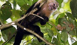 """Małpy też strajkują, domagając się """"podwyżek"""""""