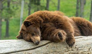 Niedźwiedź - zdjęcie poglądowe