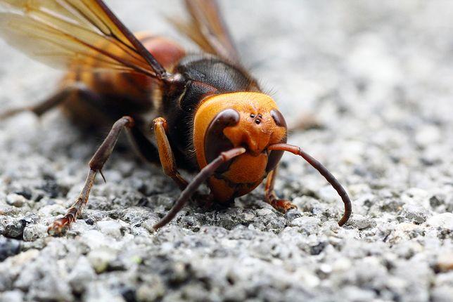 Szerszeń azjatycki zbliża się do Polski. Największy szerszeń na świecie jest śmiertelnym zagrożeniem dla ludzi i pszczół