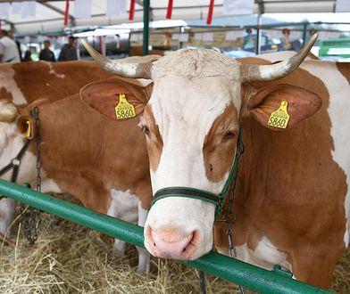 KE zajmie się sprawą nielegalnego uboju krów w Polsce